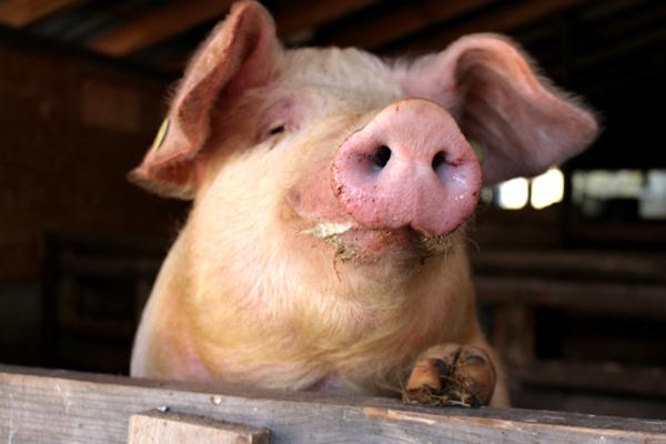 Bunte Bentheimer Schwein